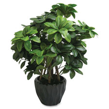 "Pittosporum Tobira Plant, Silk Leaves, 5"" Pot, Green  (1 EA)"